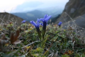 Gentianella ciliata, the fringed gentian