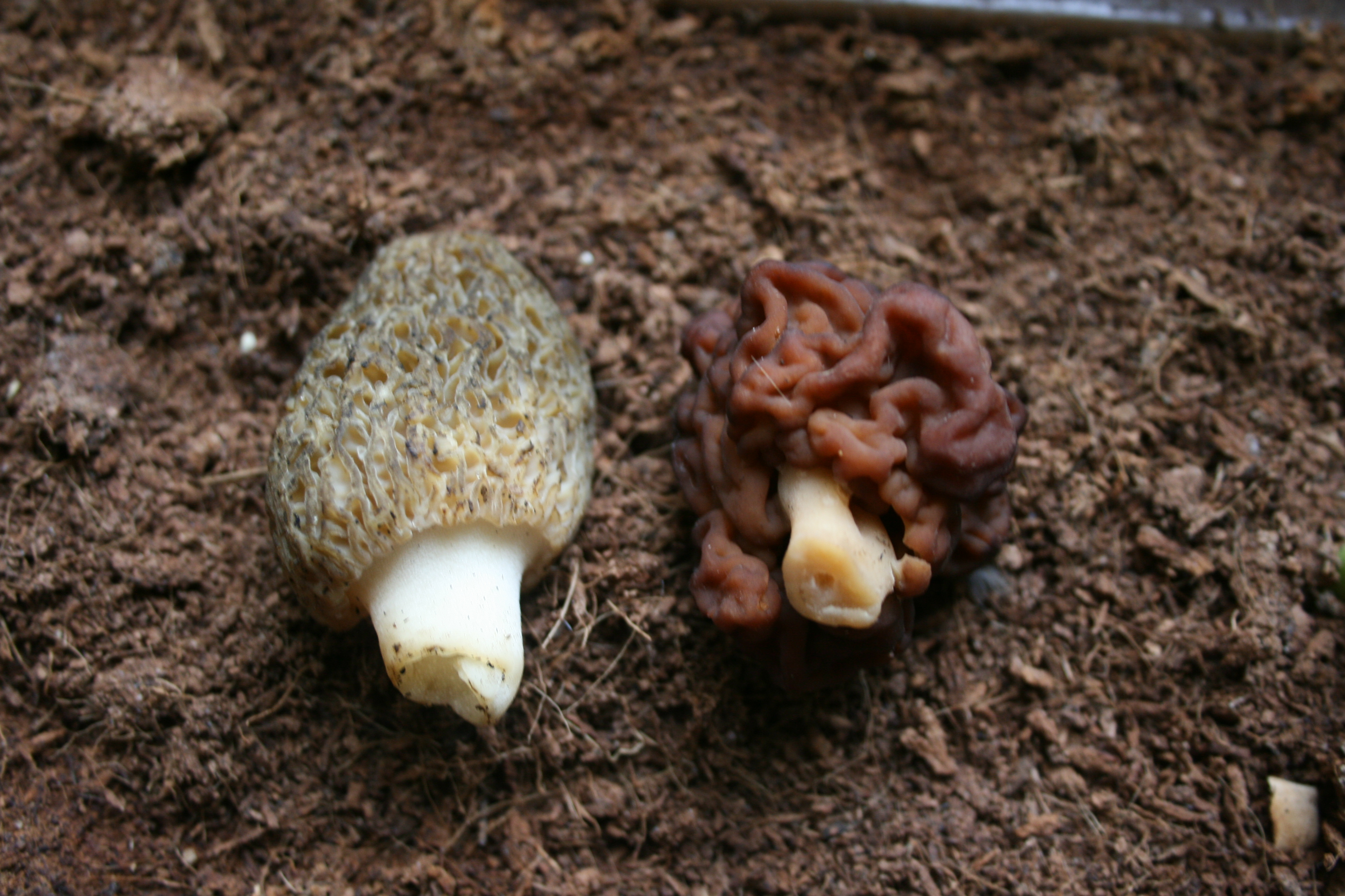 how to tell false morels