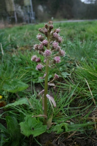 Butterbur, or pestilence wort
